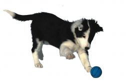 Stimuluskontroll vs frivilligt beteende hos klickerhundar
